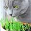 Vers kattenkruid