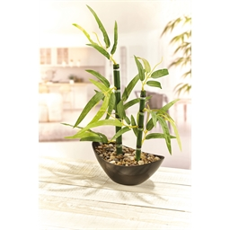 Bamboeplant of Set van 2 bamboeplanten