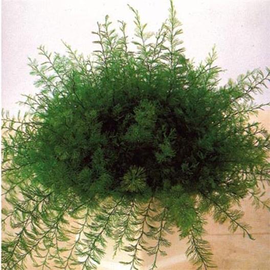 Neptun-Pflanze